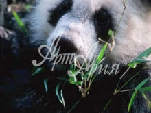thumbs 7080 60x40 mishka panda Фото искусство