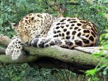 thumbs 7120 60x40 spyashhij leopard Фото искусство