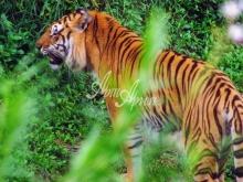 thumbs 7136 60x40 tigr vysmatrivayushhij dobychu Фото искусство