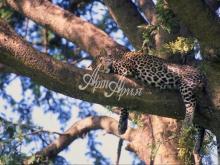 thumbs 7140 60x40 leopard na dereve Фото искусство