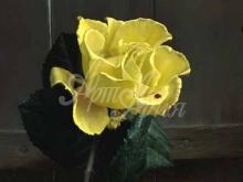 3416_65х48_А.Н.Антонов - Желтая роза