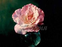 3428_70х52_А.Н.Антонов - Розовая роза