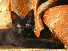 Портрет кота  по фото. Вы может увековечить на на холсте все. Даже кота!