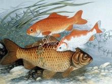 6113_49x30-zolotye-rybki